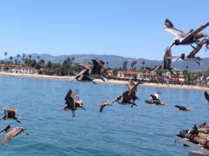 The Pelican Family Series - brown pelicans flying - 55-The ocean speaks to me
