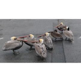 #52–Meet the Pelicans